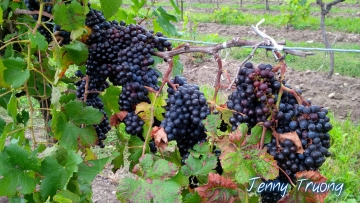 peller-estates-grapes