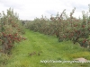 2014 Wilmot Orchard Breakfast Apple Trees