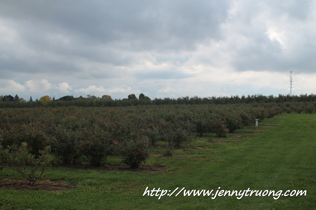 2014 Wilmot Orchard Breakfast on The Farm Blueberry Bushes