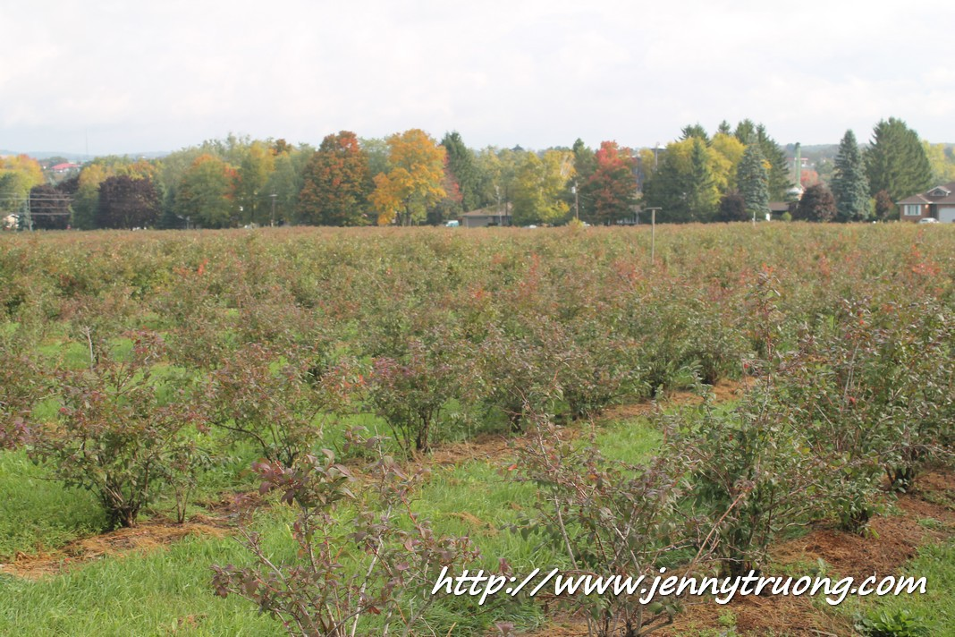 2014 Wilmot Orchard Breakfast Blueberry Bushes